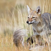 South American Gray or Chilla Fox, Lycalopex griseus