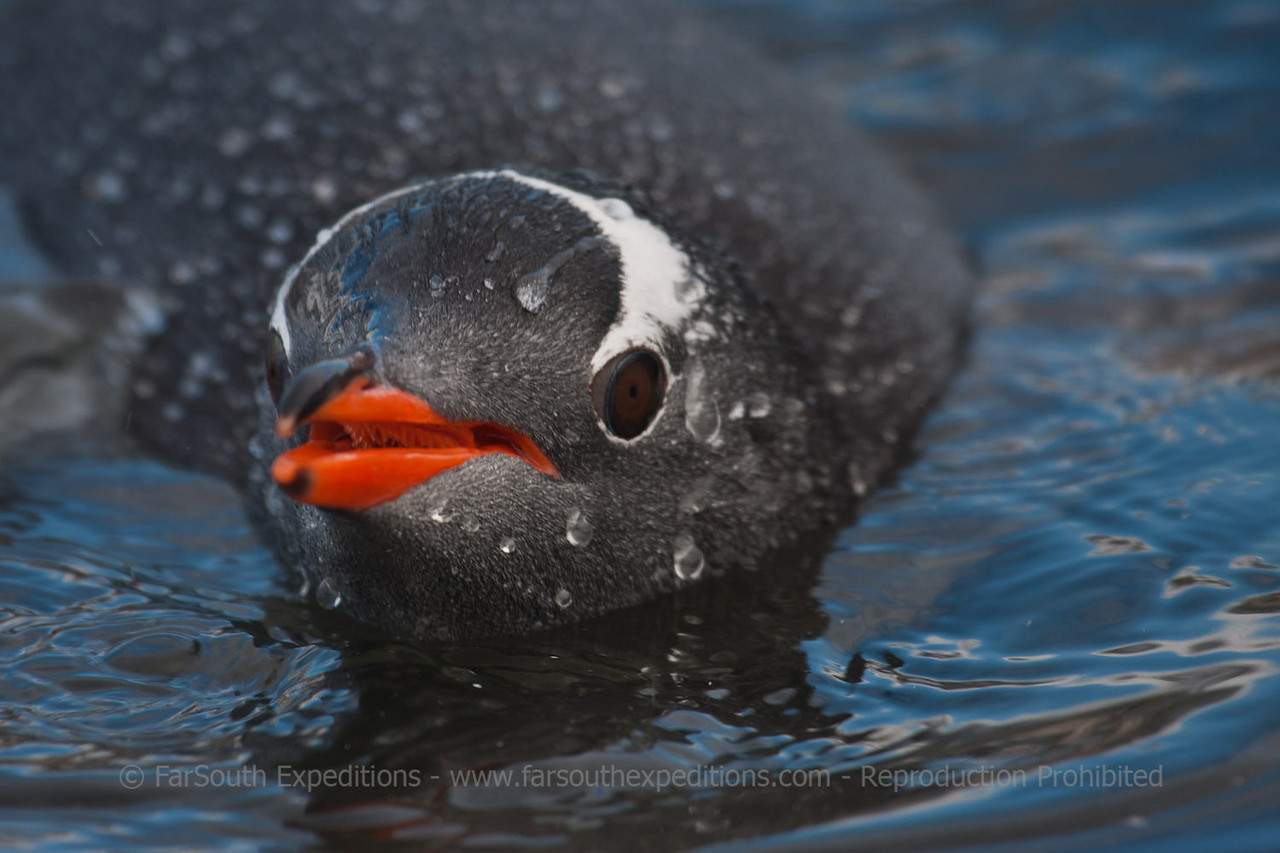 "Gentoo Penguin • Pingüino Papua (Pygoscelis papua), Antarctica © Claudio F. Vidal, FS Expeditions -  <a href=""http://www.fsexpeditions.com"">http://www.fsexpeditions.com</a>"