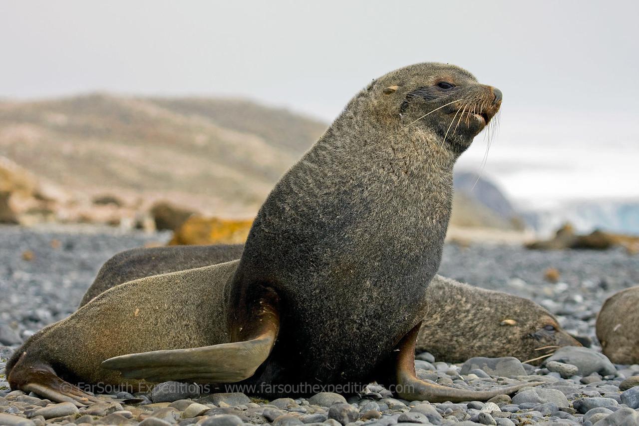 "Antarctic Fur Seal (Arctocephalus gazella) © Claudio F. Vidal, FS Expeditions -  <a href=""http://www.fsexpeditions.com"">http://www.fsexpeditions.com</a>"