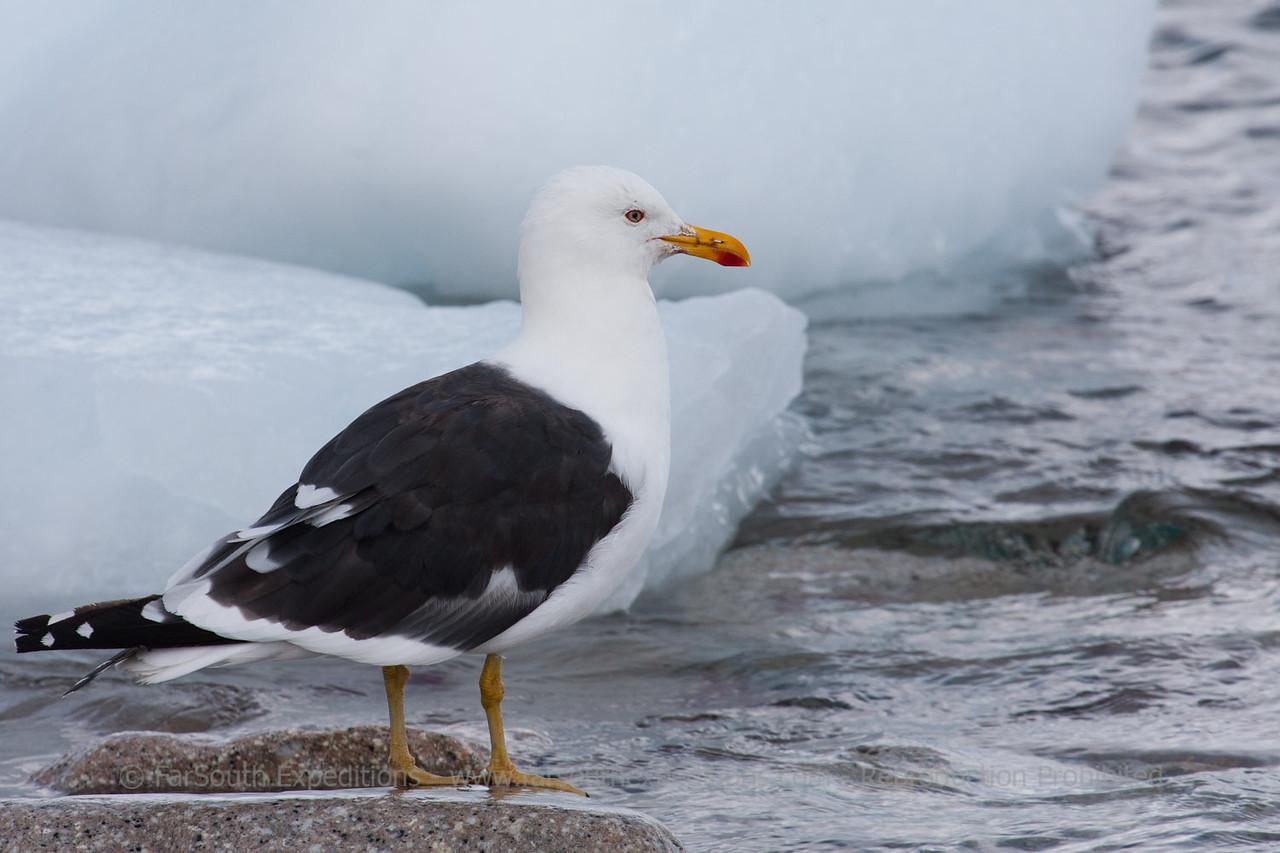 Kelp Gull, Larus dominicanus