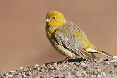 Greater Yellow Finch, Sicalis auriventris