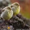 Patagonian Yellow Finch, Sicalis lebruni
