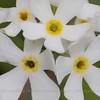 Primula magellanica, Fam. Primulaceae