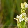 Chloraea chica, Fam. Orchidaceae