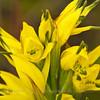 Gavilea supralabellata, Fam. Orchidaceae