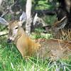 Huemul Deer, Hippocamelus bisulcus