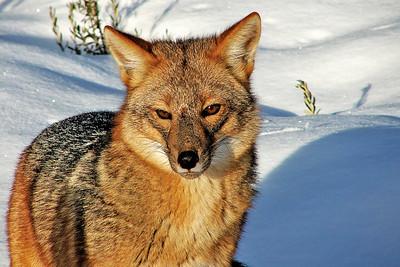 Culpeo Fox, Pseudalopex culpaeus