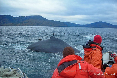 Humpback Whales of the Magellan Straits