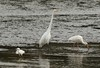 20150104-0380 - Snowy Egret, Great Egret, White Ibis