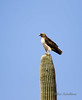 20160319-0164 - Red-tailed Hawk on Saguaro