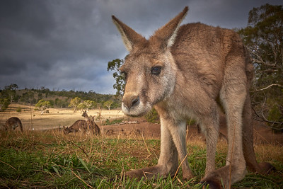 Monster Kangaroo