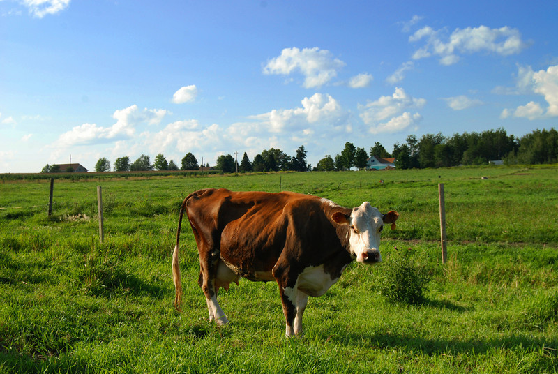 Brown Cow as Atom Heart Mother