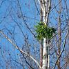 Spirande grönska i ett träd som verkar livlöst
