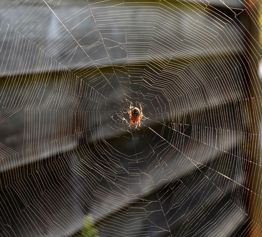 Minde-Berman front yard spider web (8/29)