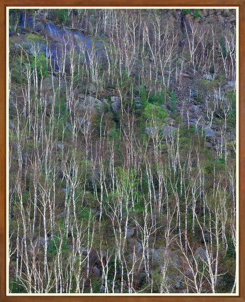 Birch Trees on Cliffside