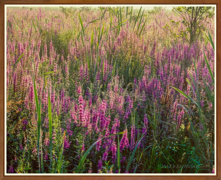Loosestrife and Spider