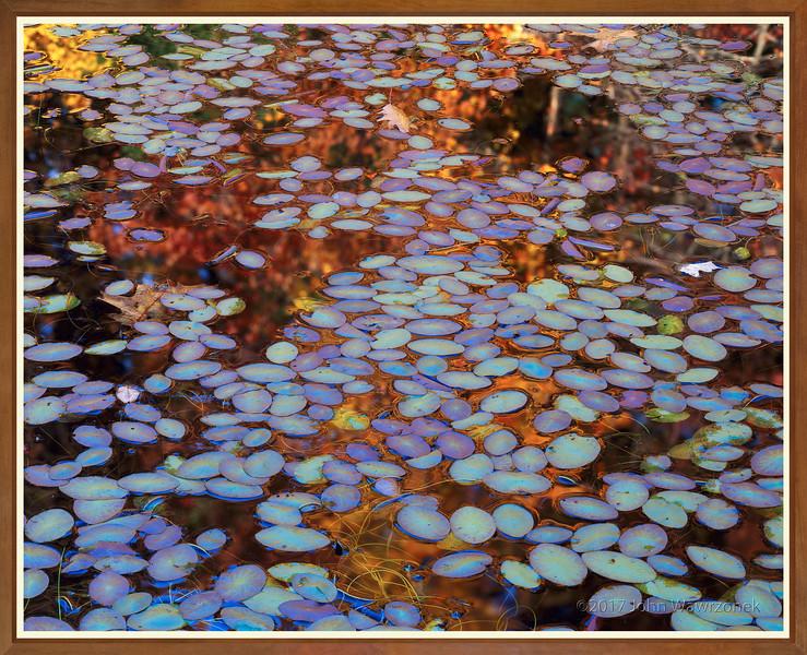 Water-shields, Wyman's Meadow