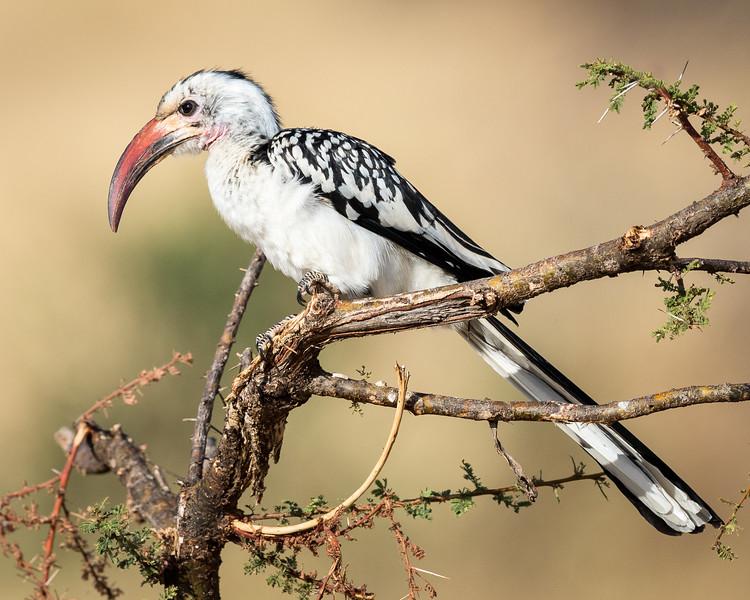 Hornbill Beauty