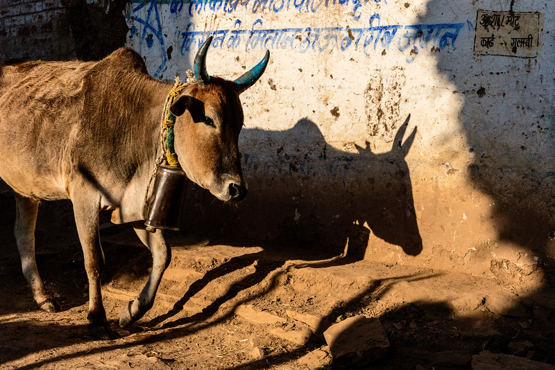 The Baiga tribal family who owns this bull painted its horns as part of annual celebration of the village livestock in Bhoramdeo.