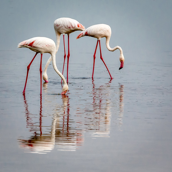Lake Masek, Tanzania: Greater flamingos foraging for brine shrimp, algae, and mollusks; they get their bright red colors from organic pigments in their food.