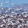 Bosque del Apache National Wildlife Refuge, New Mexico. A snow goose blastoff that occurred when hundreds of geese feeding in a fallow corn field were startled by something.