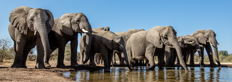 Mashatu Game Reserve, Botswana. African elephants cluster around a water hole. Elephant populations are declining all over Africa. Botswana has become something of a haven for them.