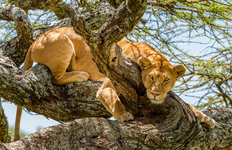 Serengeti National Park, Tanzania: A lion perched in an umbrella thorn acacia tree scans for prey.