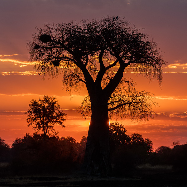 Kwara, Okavango Delta, Botswana. A massive baobab tree is silhouetted against the setting sun. A pair of African fish eagles is perched in the top branches on the right and a large red-billed buffalo weaver nest occupies upper branches on the left. Baobabs can live over 1000 years.