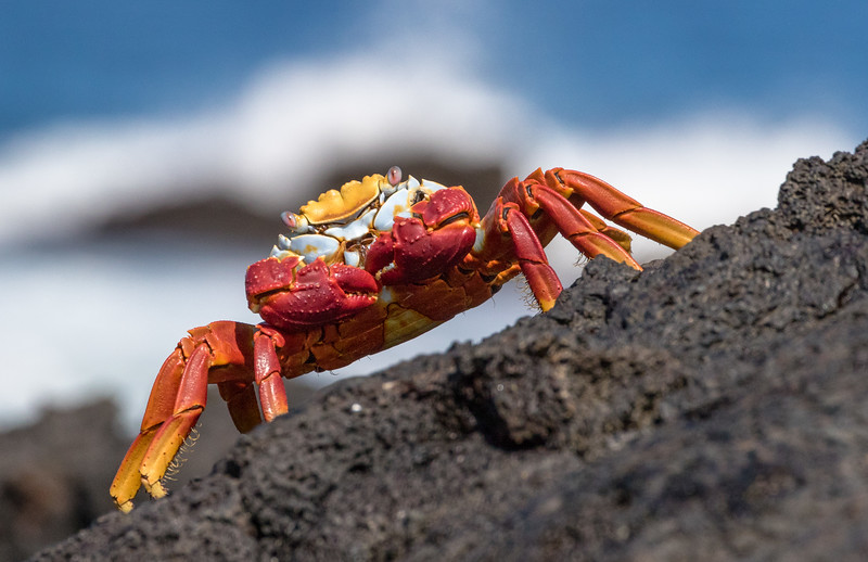 James Bay, Santiago Island, Galápagos. A Sally Lightfoot crab along the lava shoreline. These crabs are rumored to be named after a Carribean dancer, due to their agility, such as the ability to climb vertical slopes and run in any of four directions.