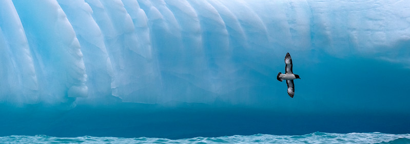 Gold Harbor, South Georgia. A cape petrel flies across the face of a large iceberg. Wave action at the water line has cut into the highly compressed (and therefore deep blue) ice there. The vertical channels may be a result of erosion.