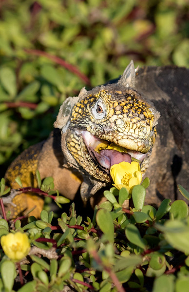 South Plaza Island, Galápagos. This land iguana has not yet had its fill of sea purslane blossoms.