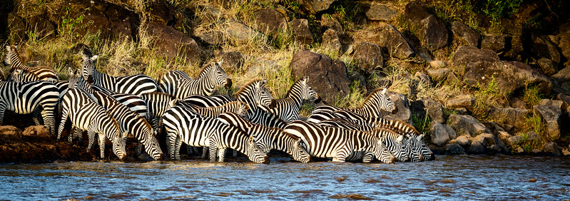 Masai Mara National Reserve, Kenya. MIgrating zebras at the edge of the Mara River prepare to cross, wary of the crocodiles that may be hidden in the water.