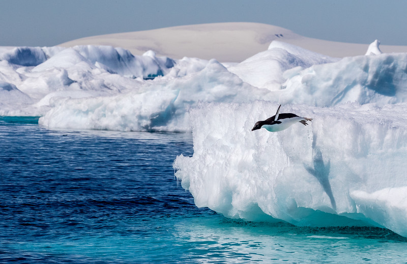 Antarctic Sound, between the tip of the Antarctic Peninsula and Joinville Island. This sound is commonly referred to as Iceberg Alley for the icebergs that roam here after calving from the ice shelves to the south. Here, an adele penguin dives into the sound from one of those icebergs.