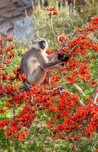 Jawai, Rajasthan, India. A black-faced langur eats blossoms of a flame of forest tree. black-faced langur eats blossoms of a flame of forest tree. These monkeys are also known as gray or Hanuman langurs (after the Hindu god).