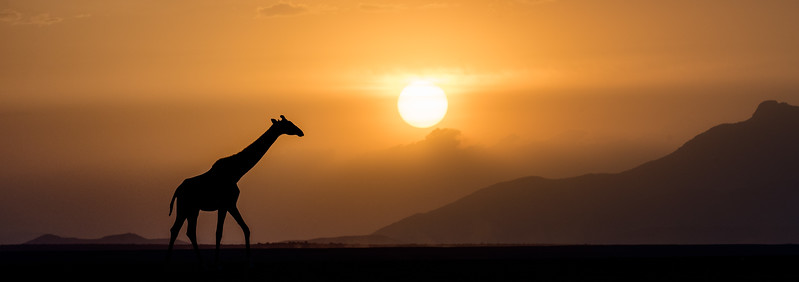 Amboseli National Park, Kenya. A giraffe traverses the dry and dusty pan (dry lake bed) late in the day.