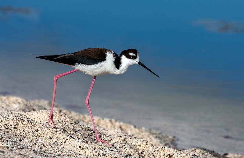 Las Bachas Beach, Santa Cruz Island, Galápagos. A black-necked stilt along the shore of an inland lagoon.