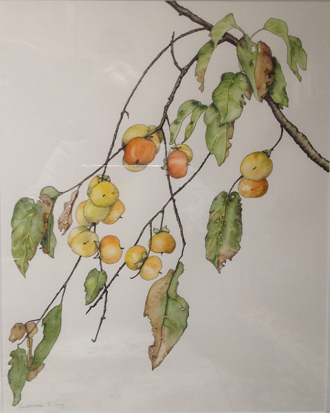© Heidi Copiz<br>American Persimmon (<i>Diospyros virginiana</i>)<br>watercolor