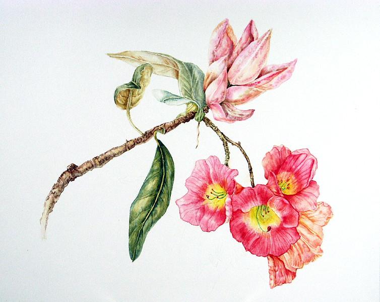 © Paula Tobenfeld<br>Catawba Rhododendron (<i>Rhododendron catawbiense</i>)<br>watercolor
