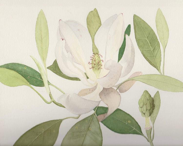 © Joseph Bailey<br>Sweetbay Magnolia (<i>Magnolia virginiana</i>)<br>watercolor