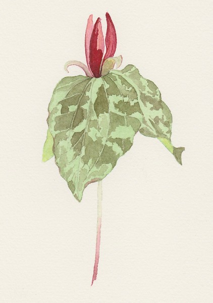 © Joseph Bailey<br>Spotted Trillium (<i>Trillium maculatum</i>)<br>watercolor