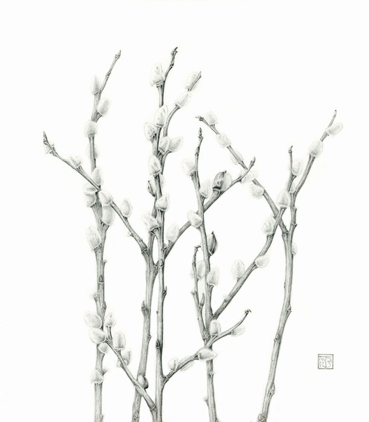 © Joan Maps Ducore<br>Pussy Willows (<i>Salix discolor</i>)<br>graphite