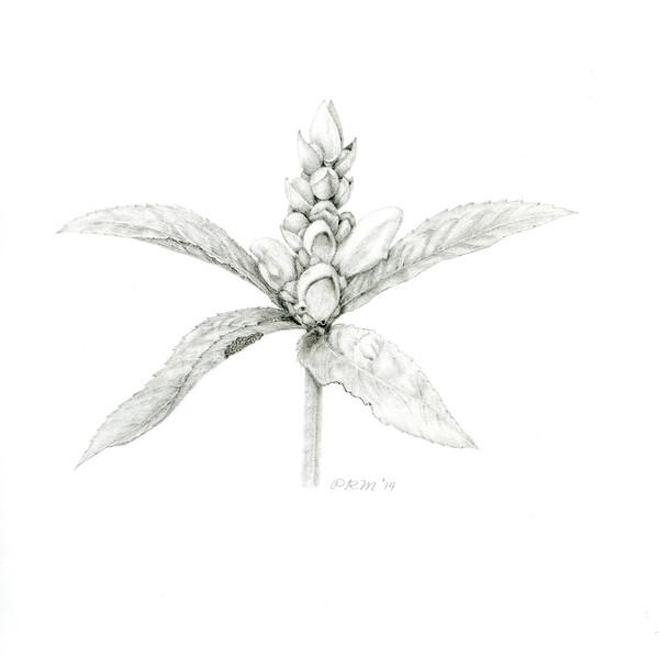 © Pamela Mason<br>White Turtlehead (<i>Chelone glabra</i>)<br>graphite