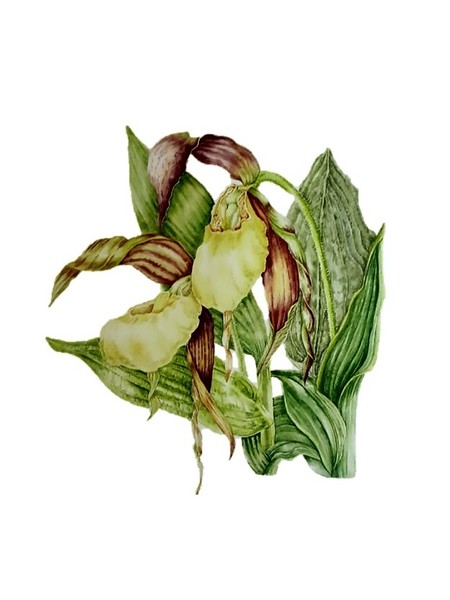 © Paula Tobenfeld<br>Yellow Lady Slipper Orchid (<i>Cypripedium kentuckiense</i>)<br>watercolor