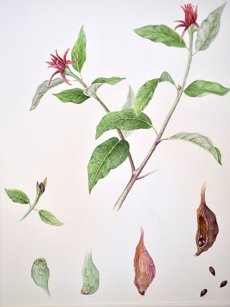 © Ann Lesciotto<br>Carolina Allspice (<i>Calycanthus floridus</i>)<br>watercolor