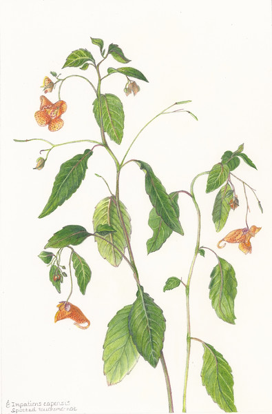 © Anne Clippinger<br>Spotted Touch-Me-Not (<i>Impatiens capensis</i>)<br>colored pencil