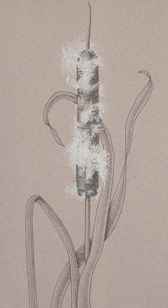 © Karen Coleman<br>Common Cattail (<i>Typha latifolia</i>)<br>sepia ink &amp; white pencil