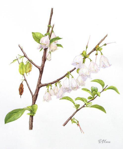 © Elena Maza-Borkland<br>Carolina Silverbell Tree (<i>Halesia carolina</i>)<br>watercolor
