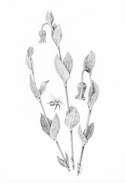 © Pamela Mason<br>Curlyheads with Bee (<i>Clematis ochroleuca</i>)<br>graphite