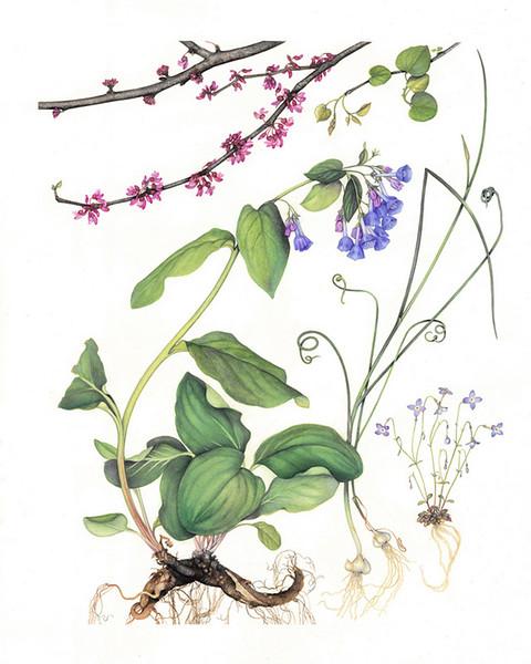 © Margaret Farr<br>Virginia Native Plants in April<br>watercolor