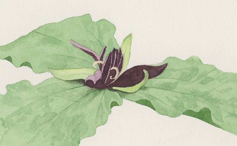 © Joseph Bailey<br>Twisted Trillium (<i>Trillum stamineum</i>)<br>watercolor